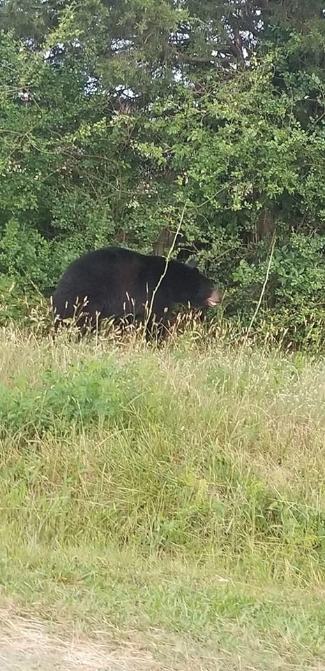 Newberry bear